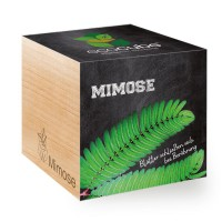 "Ecocube Pflanze im Holzwürfel ""Mimose"""